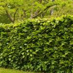 Haagbeuk plaatsen in de tuin
